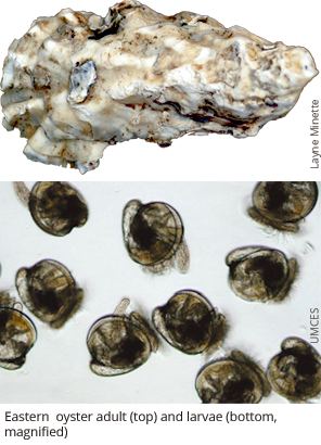 Oyster adult (top) and larvae (bottom, magnified)