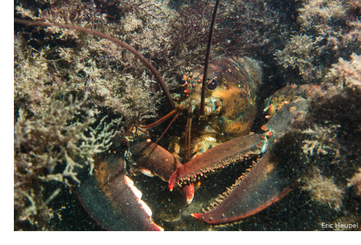 American lobster (Credit: Eric Heupel)